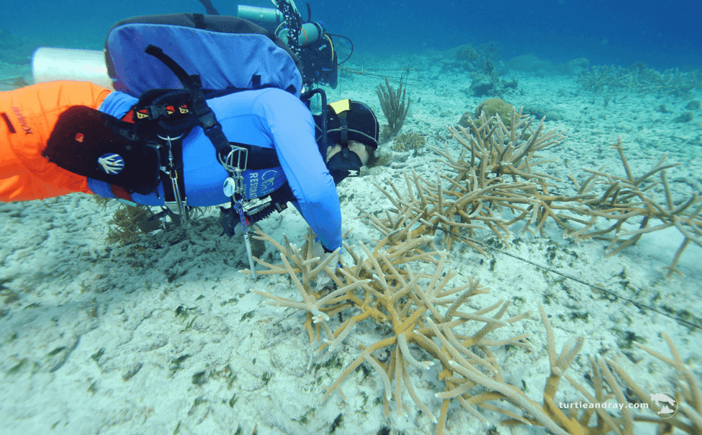 Coral Restoration Curaçao   Protecting What We Love   Dive Curacao
