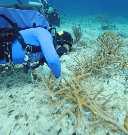 Coral Restoration Curaçao | Protecting What We Love | Dive Curacao