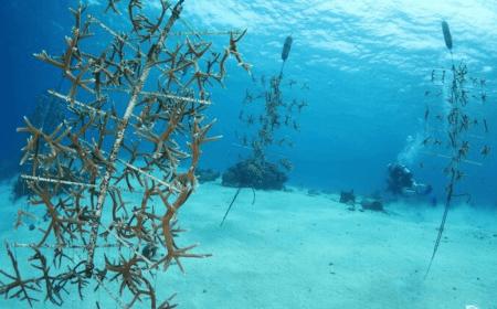 Baoase Luxury Resort   Coral Restoration Curaçao   Dive Travel Curacao