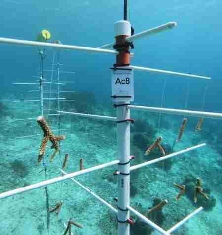Coral Restoration Curaçao New Partner | Dive Center Scuba Do