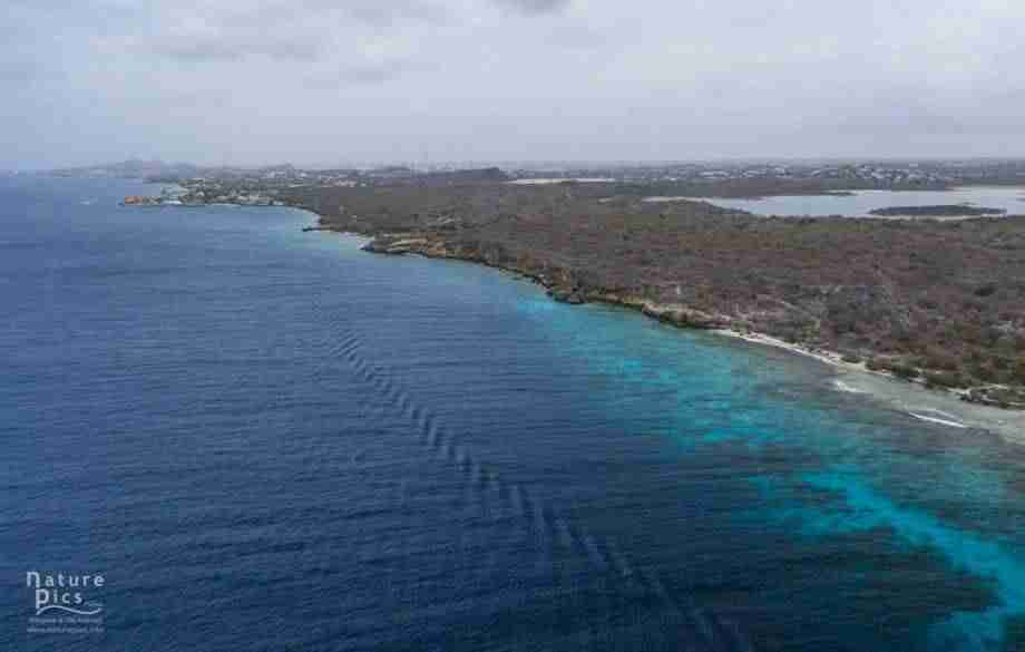 Illegal Coral Restoration in Curacao | Dive News Curaçao