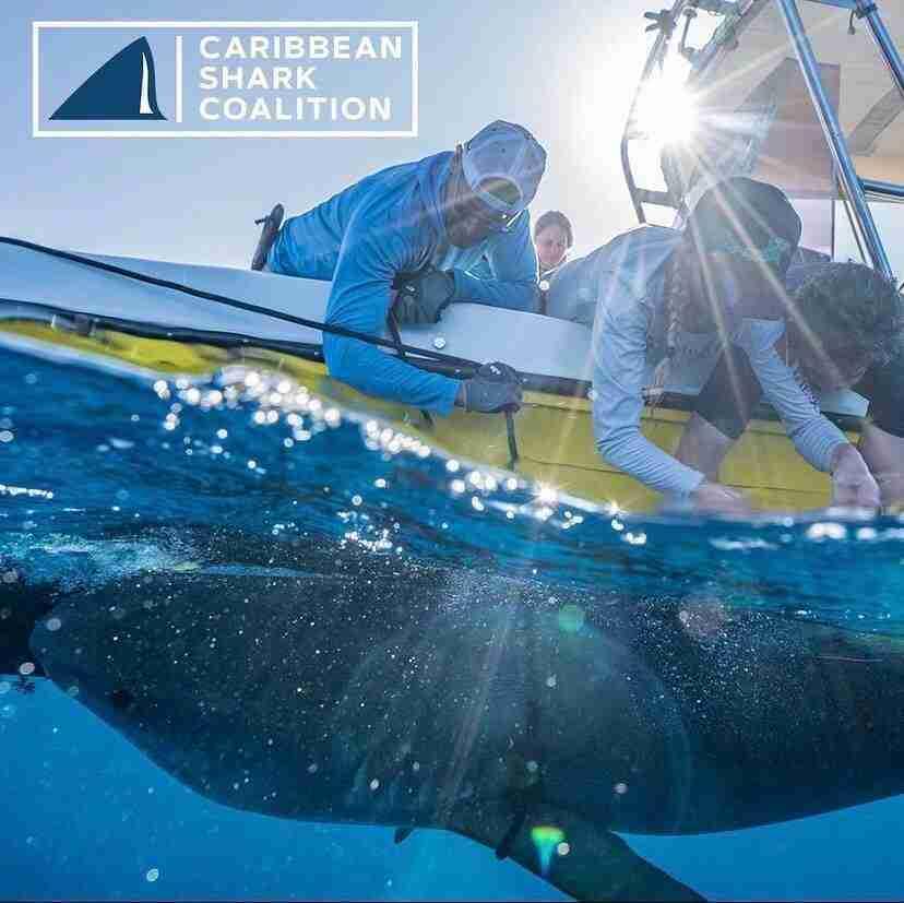 Caribbean Shark Coalition | Dive Curacao