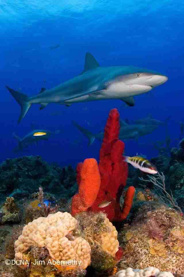 Curacao Shark Conservation   Dive Curacao
